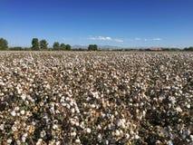 Bawełny pola gospodarstwo rolne Obrazy Royalty Free