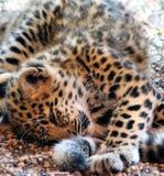 Bawić się Jaguar dziecka na ziemi Fotografia Stock