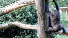Bawić się młodych goryle zbiory
