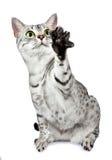 Bawić się mau egipskiego kota Obrazy Royalty Free