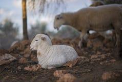 Bawić się Nowonarodzonych baranki Urodzony w zimie zdjęcia royalty free