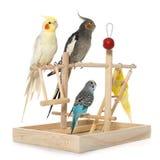 Bawić się parakeet i Cockatiel zdjęcie royalty free