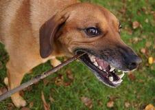 Bawić się psa Obraz Royalty Free