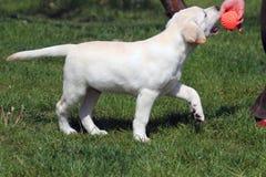 bawić się szczeniaka balowy labrador Fotografia Royalty Free