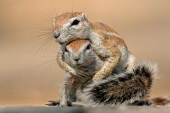 Bawić się zmielone wiewiórki Zdjęcie Royalty Free