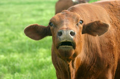 Bawling Cow. Red cow in spring pasture mooing and bawling at feeding time Stock Photography