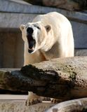 Bawling polar bear. In zoological park in karlsruhe germany Royalty Free Stock Images