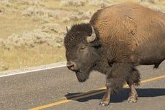 Bawoli żubr w Lamar dolinie Yellowstone obrazy royalty free