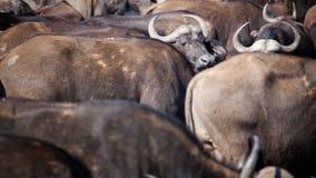 Bawoli Afryka stada Przesiedleńczy zwierzęta Zdjęcia Royalty Free