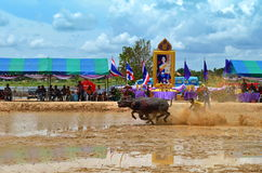 Bawoli bieżny festiwal Zdjęcia Stock