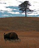 Bawoli byka pasanie w Wiatrowym jama parku narodowym w Czarnych wzgórzach Południowy Dakota Zdjęcia Stock