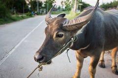 Bawoli odprowadzenie na drodze w Tajlandia Obrazy Stock