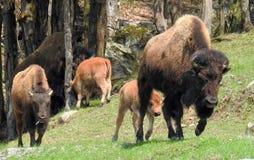 Bawoli rodzinny odprowadzenie w dzikim zdjęcia stock