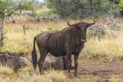 Bawoli stado w trawie wśrodku Kruger parka, Południowa Afryka Zdjęcia Royalty Free