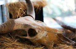 Bawolia czaszka Obrazy Royalty Free