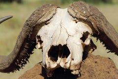 Bawolia czaszka na kopu ziemia Zdjęcie Royalty Free