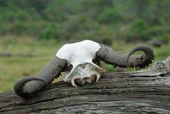 Bawolia czaszka w Empakai kraterze, Wielki rift valley, Tanzania, Wschodni Afryka Obraz Royalty Free