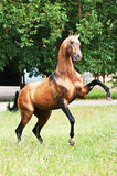 Bay akhal-teke horse rearing. Bay akhal-teke horse play on the meadow Stock Photos