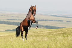 Bay akhal-teke horse rearing up on the field Stock Images