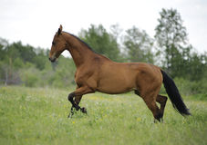 Bay akhal-teke horse runs free. In summer stock photography