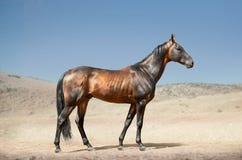 Bay akhal-teke stallion in desert Stock Photo