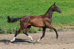 Bay akhal-teke stallion trot Stock Image