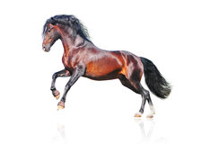 Bay andalusian horse isolated Royalty Free Stock Images