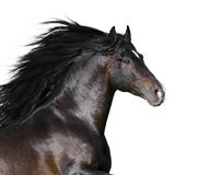 Bay andalusian horse isolated. On the white Stock Photos