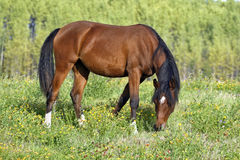 Bay Arab Filly grassing in meadow Royalty Free Stock Photos