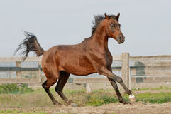 Bay arab horse Stock Images