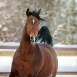 Bay arab horse in winter stock photography