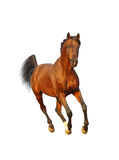 Bay arab stallion Royalty Free Stock Photography