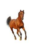 Bay arab stallion. Isolated on white Royalty Free Stock Photography