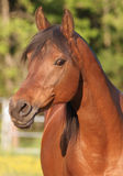 Bay Arabain Stallion Royalty Free Stock Photography
