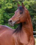 Bay Arabain Stallion Stock Image