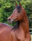 Bay Arabain Stallion. Portriat image of Bay Arabian Stallion Stock Image