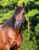 Bay Arabain Stallion Stock Photography