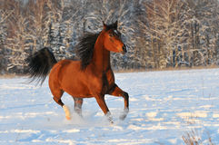 Bay arabian horse. In winter Royalty Free Stock Photography