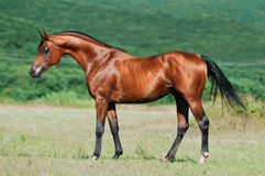 Bay arabian horse Royalty Free Stock Photo