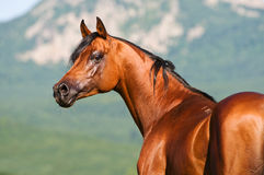 Bay arabian horse Stock Photography