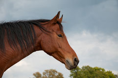 Bay Arabian horse against cloudy skies Royalty Free Stock Image