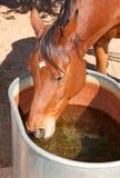 Bay Arabian horse drinking Royalty Free Stock Images