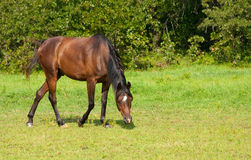 Bay Arabian horse grazing Royalty Free Stock Images