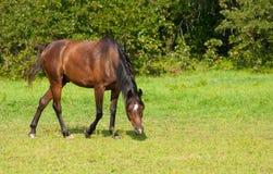 Bay Arabian horse grazing Royalty Free Stock Images