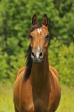 Bay arabian horse portrait. Bay arabian horse mare portrait Stock Photo