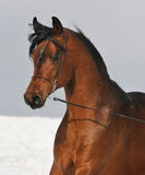 Bay arabian horse portrait. In winter Stock Image
