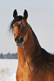 Bay arabian horse portrait. In winter Stock Images
