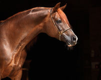 Bay arabian horse portrait in dark background Royalty Free Stock Images