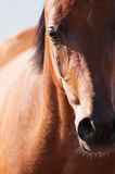 Bay arabian horse portrait in front focus Royalty Free Stock Image