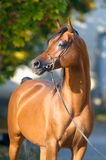 Bay Arabian Horse Portrait In Autumn Royalty Free Stock Photos